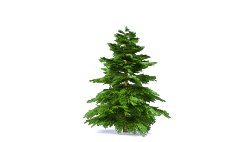 Growing fir tree isolated on white. Alpha matte - HD stock video clip