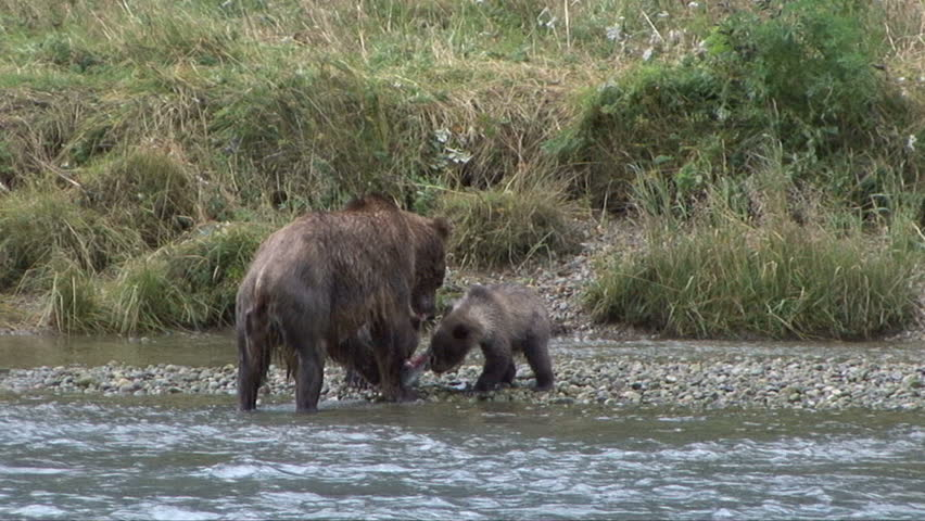 Brown bear cubs run to their mother who has a salmon