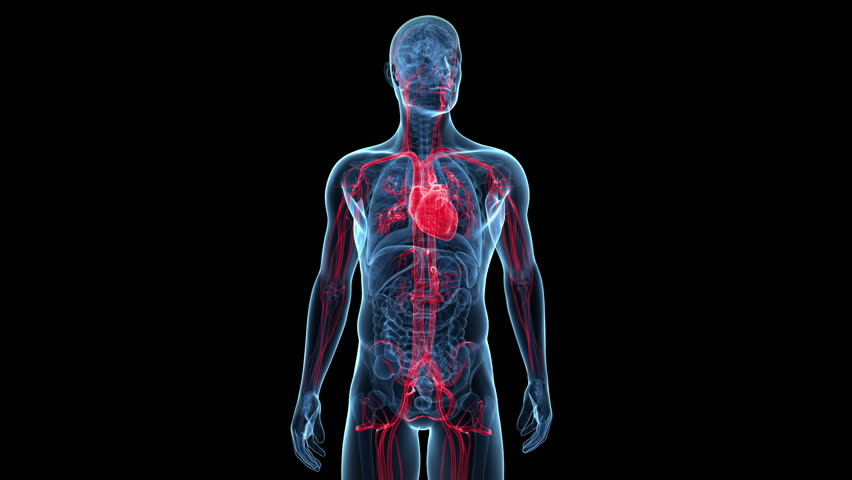 Generateexhibit additionally Generateexhibit moreover Stress And Your Health besides Ppt 27555570 together with Anatomy Of Back Muscles And Nerves. on human body cardiovascular system