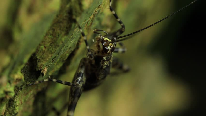 Crickets, family Gryllidae, are insects somewhat related to grasshoppers, and more closely related to katydids or bush crickets and Weta.