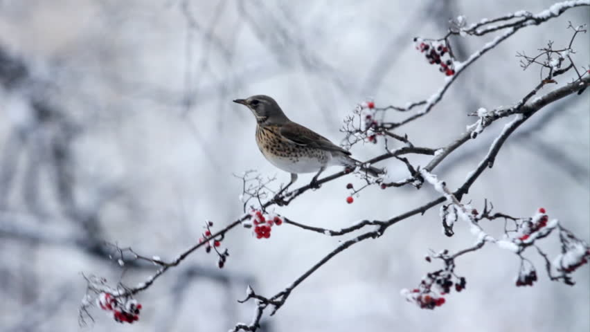 A bird sits on a branch for eating berry in winter - HD stock footage clip