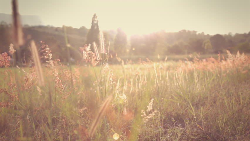 Field of feather grass at sunset vintage color. | Shutterstock HD Video #5186807