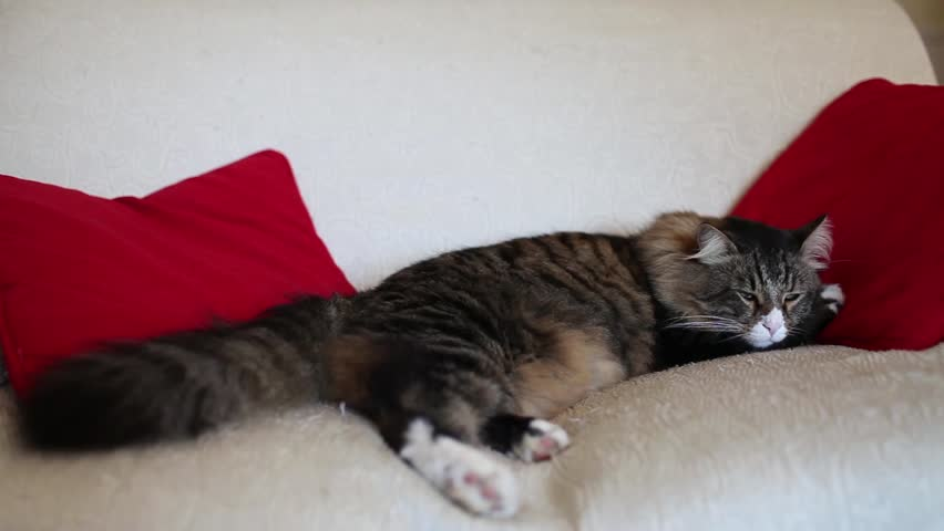 Video clip of cute Maine Coon cat with sleepy eyes, lying on the sofa between red pillows.