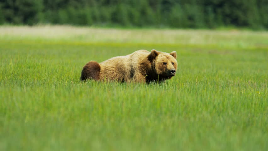 Brown Bear Ursus arctos resting in summer Wilderness grasslands, shot on RED EPIC, 4K, UHD, Ultra HD resolution