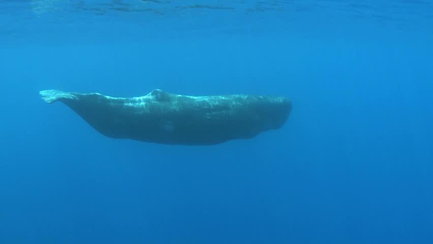 Sperm Whale Swimming - Underwater Shoot Physeter ...