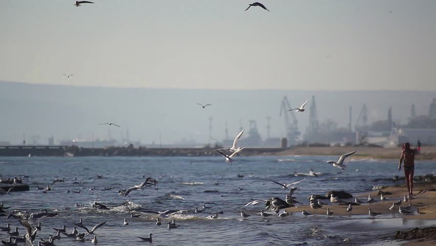 Groups of seagulls on the beach and a man walking by - HD stock video clip
