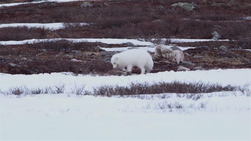 Arctic fox chews a caribou carcass.