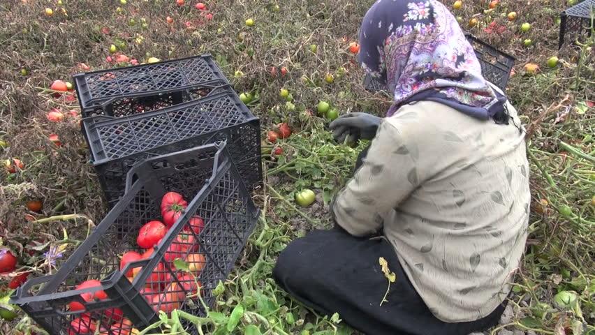 SHIRAZ, IRAN - 28 OCTOBER 2013: A woman is picking tomatoes inside a field near Shiraz, Iran - HD stock video clip