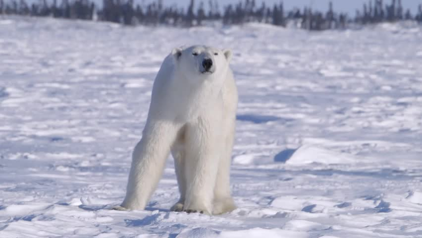 Polar bear walking through an arctic landscape.