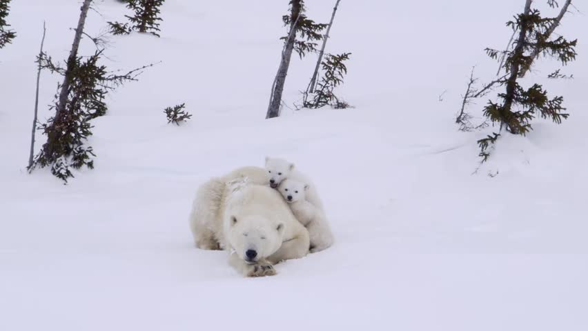 Pair of polar bear cubs lying in the snow with their mother.