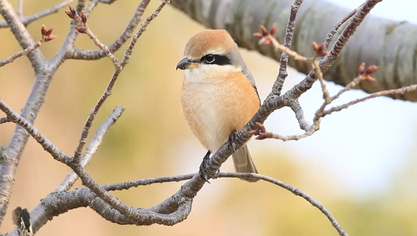 Bull-headed shrike  Lanius bucephalus  male in Japan - HD stock video clip