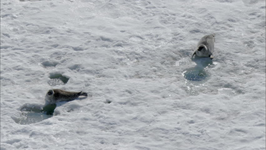 related pictures seal arctic - photo #34