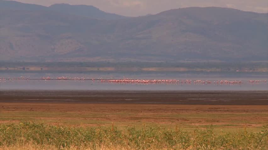 Pink Flamingos take off and land in a lake in the Ngorongoro Crater in Africa. - HD stock footage clip