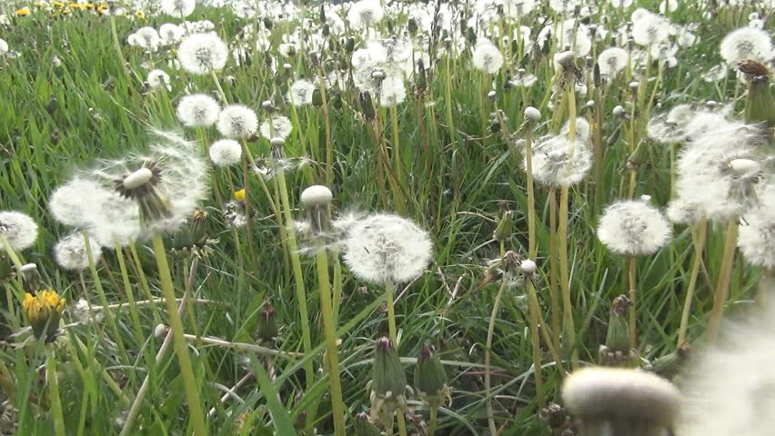 POV Walking, Flying, Stepping, Running in Grass, Dandelion Meadow, Wild Flowers Field in Countryside - HD stock video clip
