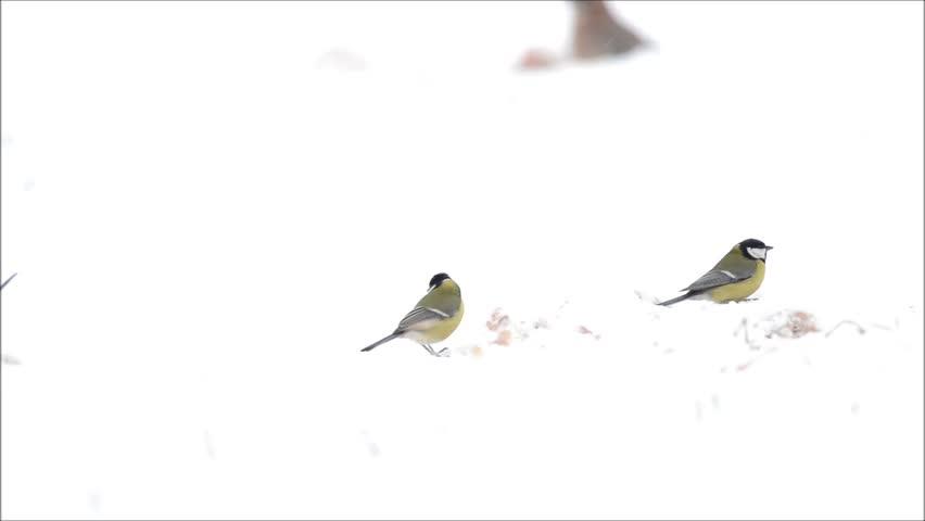 Jay bird - Garrulus glandarius - HD stock footage clip