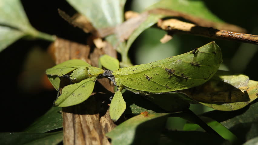 Header of leaf insect