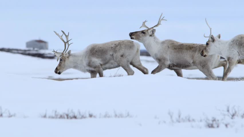 Group of caribou crossing frozen tundra. (Pan)