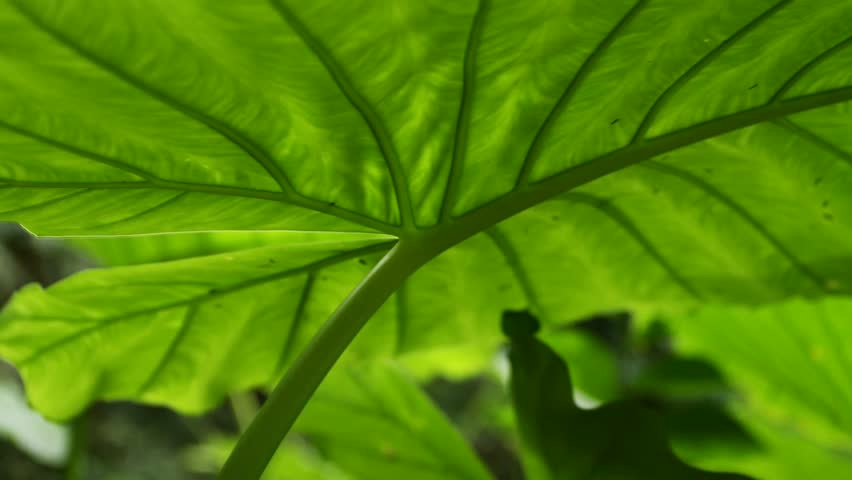 Header of Alocasia