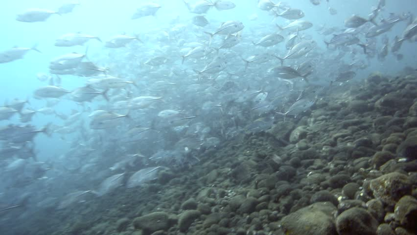 Large school of jack fish circling underwater in Amed, east Bali | Shutterstock HD Video #5576921