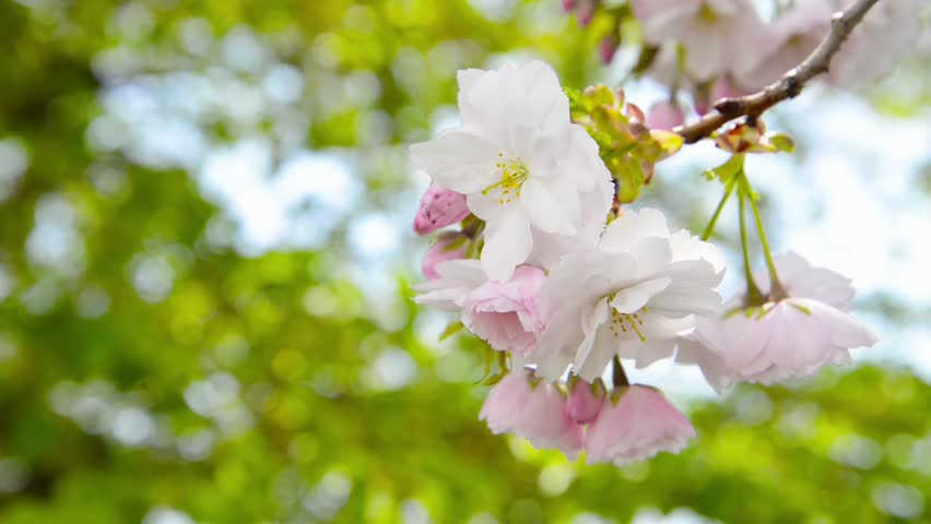 Sakura | Shutterstock HD Video #5622416
