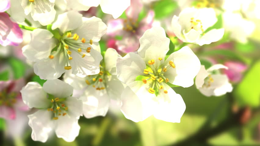4k blossoming apple-tree, beautiful 3d animation. see also the new corrected version with butterflies ClipID 9191579