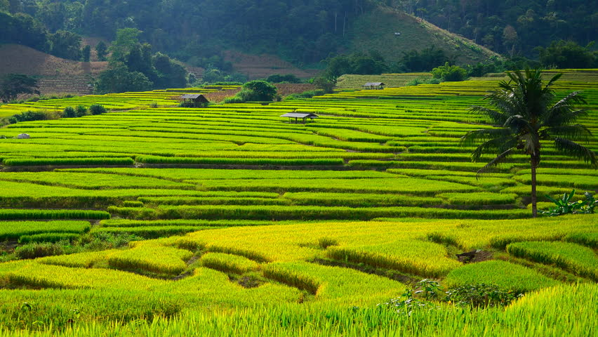 The harvesting of the rice farming time lapse stock for What is terrace farming definition