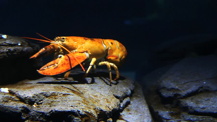 Lobster Underwater A Bright Yellow...