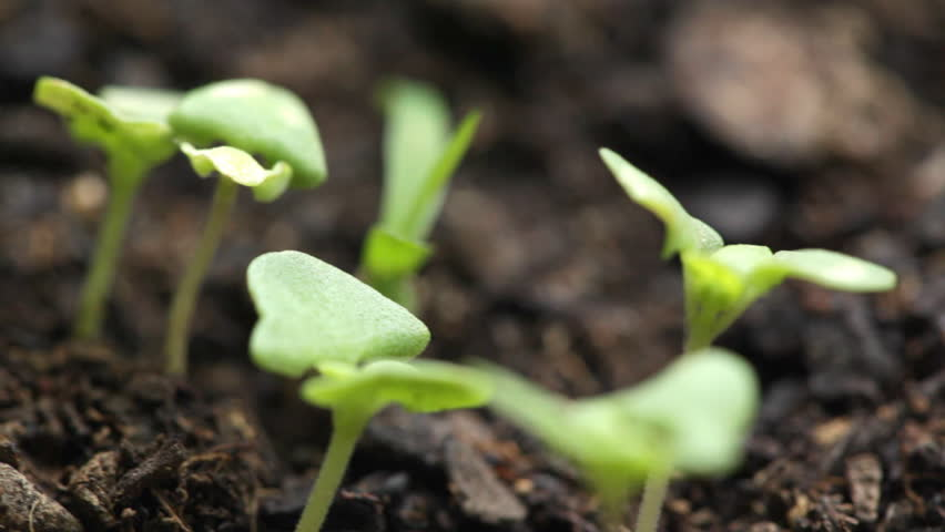 HD 1080 STEADICAM: Fresh, just growth basil saplings; closeup;
