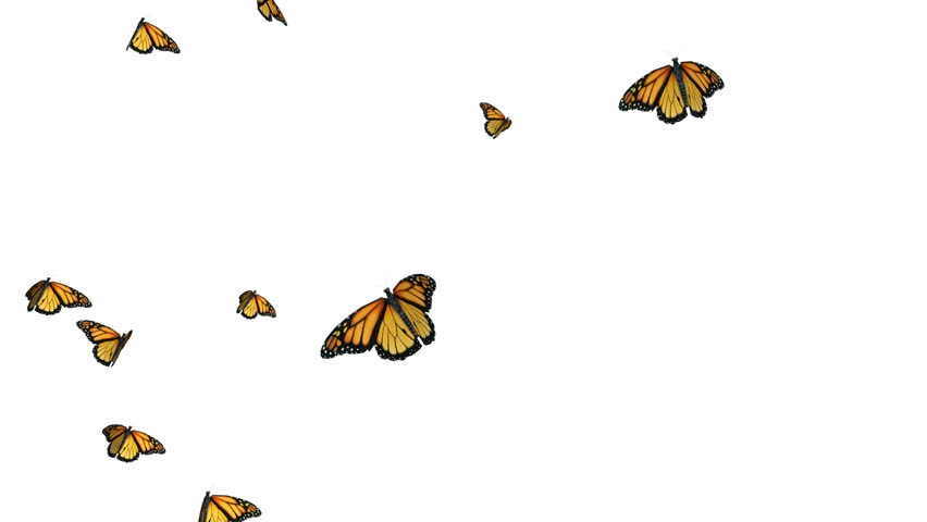 Flight Monarch Butterfly On A White And Green Background