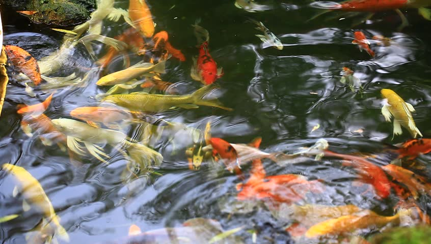 Koi Fish Swimming Around In The Pond Stock Footage Video 5729000 Shutterstock