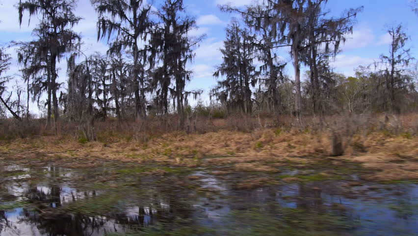 An establishing shot of bald cypress trees in the swamps of Louisiana. - HD stock video clip