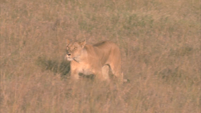 Lioness runs through grasslands | Shutterstock HD Video #5756435
