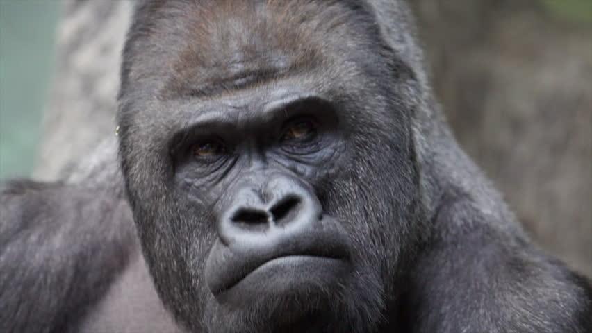Angry Silverback Gorilla Face - photo#5