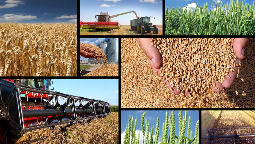Production of wheat, collage. Green wheat, combine harvesting, wheat grain in a hand after good harvest of successful farmer
