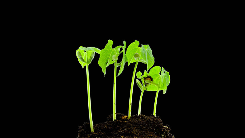 Bean sprouts, plant growth timelapse, Time-lapse green grass growing, Closeup of green grass growing - isolated