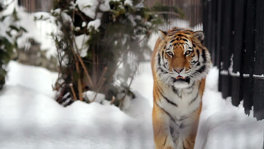 Portrait of Amur tiger walking around the cage in the winter, Novosibirsk, Russia