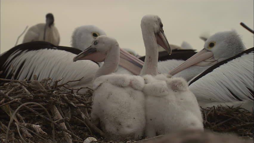 Young Pelican chicks together siblings same age - HD stock video clip