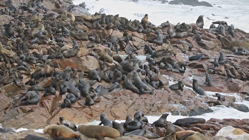Group of sea lions over the rocks, atlantic ocean