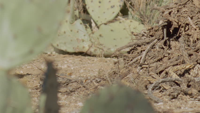 Arizona Native Mouse scurrying on the ground - HD stock video clip