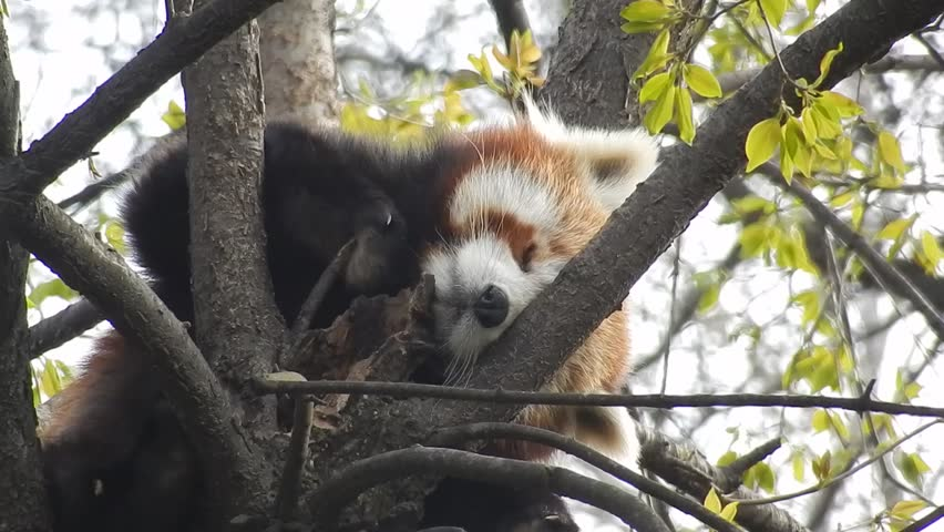 Header of Ailurus fulgens