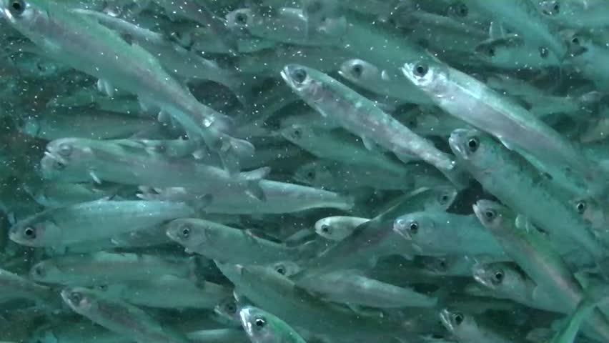 School of numerous blue fishes closeup - HD stock footage clip