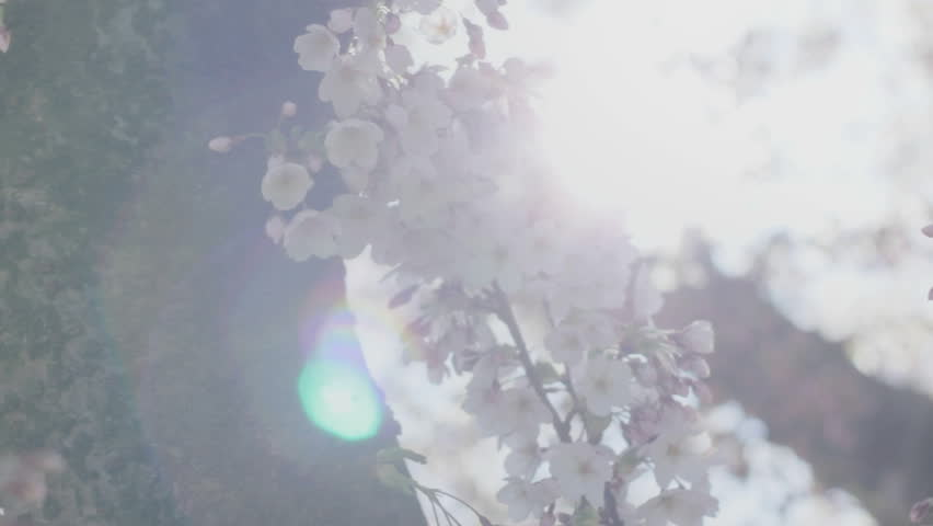 Shallow depth of field slider shot close up of white and pink cherry blossom tree flowers and buds engulfed by the radiating sun, of which the light creates a beautiful pulsating dreamy lens flare.