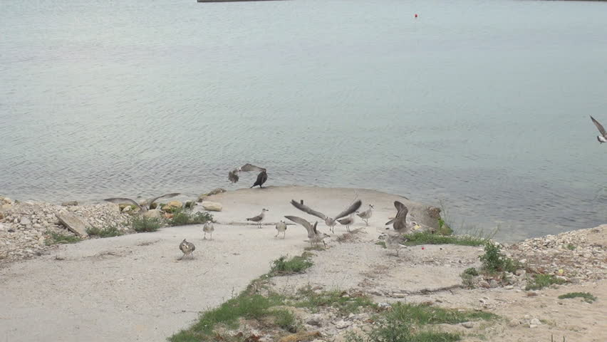 Group of seagull bird search food near a sea - HD stock video clip