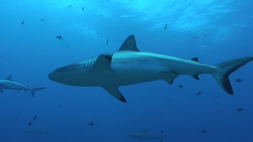 Gray Reef Sharks - HD stock video clip