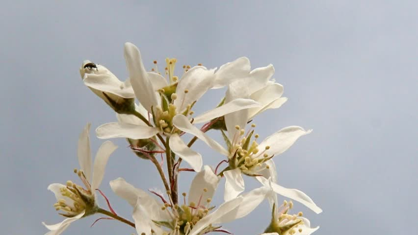 Header of Amelanchier