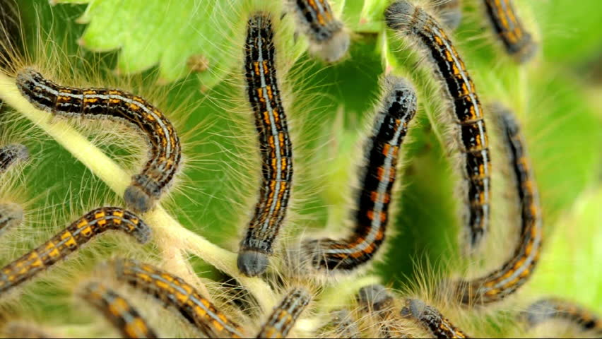 a description of the gypsy moth Fifth instar gypsy moth larva the gypsy moth, lymantria dispar, is one of north america's most devastating forest peststhe species originally evolved in europe and asia and has existed there for thousands of years.