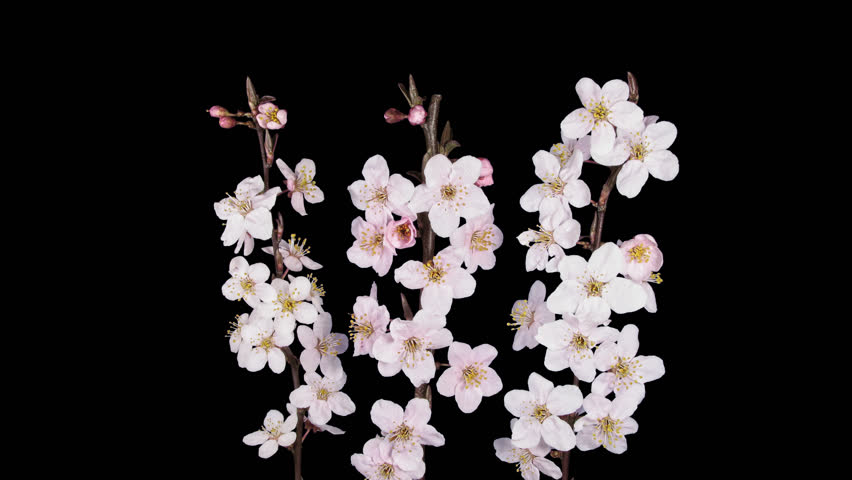 Time-lapse of blooming apricot tree branch 8x4 in DCI-4K PNG+ format with alpha transparency channel isolated on black background.