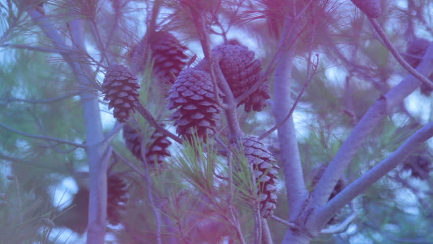 Pine branch with cones on pine tree in forest/Pine tree and pine cones/Wood in forest/Christmas tree - HD stock footage clip