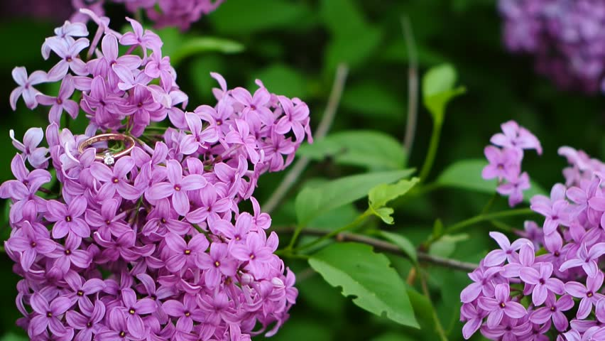 Purple lilac blooming in spring in Ukraine - HD stock footage clip