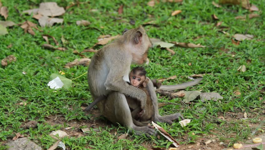 Mother monkey and baby monkey - HD stock footage clip